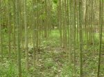 7-year-old trees in re-planted forest